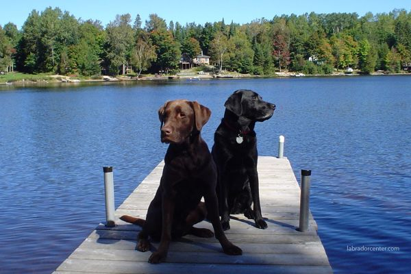 black-chocolate-labradors-on-dock8938BA27-2E2A-6B9B-90DF-BCD30FD5EF62.jpg